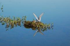 Alimentación ártica de la golondrina de mar Imagen de archivo libre de regalías