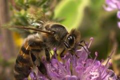 Alimentación apícola Fotografía de archivo