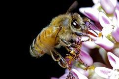 Alimentación apícola Imagen de archivo