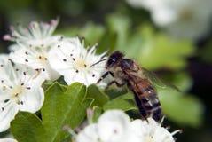 Alimentación apícola de la miel en el néctar Fotografía de archivo