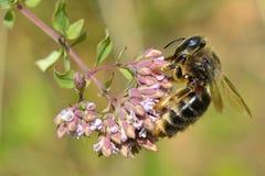 Alimentación apícola de la miel en la flor Fotografía de archivo