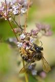 Alimentación apícola de la miel en la flor Foto de archivo