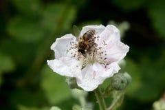 Alimentación apícola de la miel en la flor color de rosa salvaje Imágenes de archivo libres de regalías