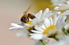 Alimentación apícola de la miel en la flor del anthemis Foto de archivo