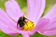Alimentación apícola de la miel en la flor del cosmos Fotografía de archivo