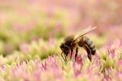 Alimentación apícola de la miel en la flor del sedum Foto de archivo libre de regalías