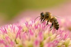 Alimentación apícola de la miel en la flor del sedum Imagen de archivo