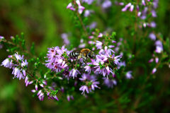 Alimentación apícola de la miel en una flor púrpura Imagen de archivo