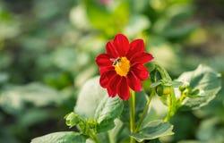 Alimentación apícola de una flor Imagenes de archivo