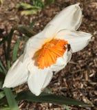 Alimentación apícola del narciso anaranjado Foto de archivo