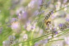 Alimentación apícola en la flor de la lavanda en jardín inglés del país Fotografía de archivo