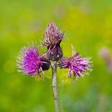 Alimentación apícola en la flor del cardo Fotografía de archivo libre de regalías