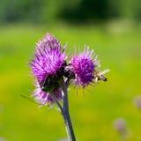 Alimentación apícola en la flor del cardo Fotos de archivo