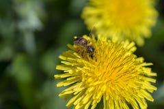 Alimentación apícola en la flor del diente de león Flor y abeja amarillas salvajes en la naturaleza, cierre para arriba Imagen de archivo