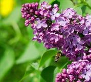 Alimentación apícola en las flores de la lila Foto de archivo libre de regalías