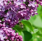 Alimentación apícola en las flores de la lila Foto de archivo