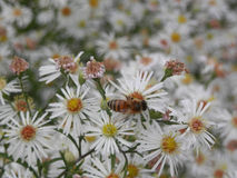 Alimentación apícola en margaritas Fotos de archivo libres de regalías