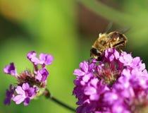 Alimentación apícola en una flor de la verbena Fotos de archivo libres de regalías