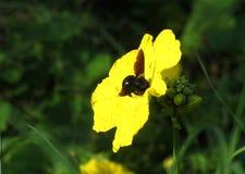 Alimentación apícola negra en una flor amarilla Fotos de archivo libres de regalías