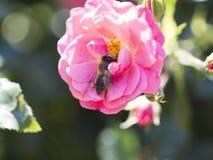 Alimentación apícola, vuelo y el stingking en la flor rosada del fucsia Fotografía de archivo