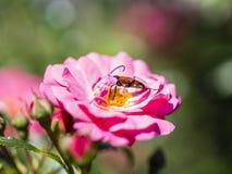 Alimentación apícola, vuelo y el stingking en la flor rosada del fucsia Fotos de archivo libres de regalías