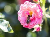 Alimentación apícola, vuelo y el stingking en la flor rosada del fucsia Imagenes de archivo