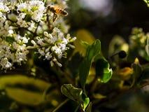 Alimentación apícola, vuelo y el stingking en la flor rosada del fucsia Fotos de archivo
