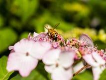 Alimentación apícola, vuelo y el stingking en la flor rosada del fucsia Foto de archivo libre de regalías