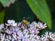 Alimentación apícola, vuelo y el stingking en la flor rosada del fucsia Imágenes de archivo libres de regalías