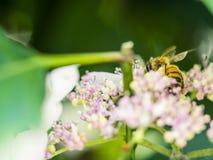 Alimentación apícola, vuelo y el stingking en las flores en un parque, al aire libre Imágenes de archivo libres de regalías