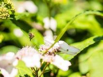 Alimentación apícola, vuelo y el stingking en las flores en un parque, al aire libre Imagen de archivo