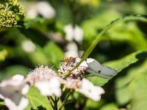 Alimentación apícola, vuelo y el stingking en las flores en un parque, al aire libre Fotos de archivo