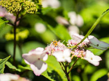 Alimentación apícola, vuelo y el stingking en las flores en un parque, al aire libre Imagenes de archivo