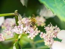 Alimentación apícola, vuelo y el stingking en las flores en un parque, al aire libre Foto de archivo libre de regalías