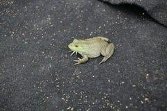 Alimentación artificial de la rana mugidora fotografía de archivo