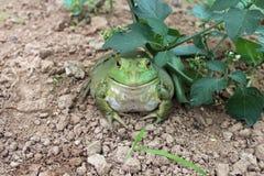 Alimentación artificial de la rana mugidora imagen de archivo libre de regalías