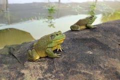 Alimentación artificial de la rana mugidora fotografía de archivo libre de regalías