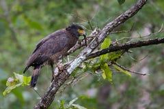 Alimentación con cresta del águila de la serpiente Imagen de archivo