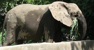 Alimentación concentrada del elefante fotos de archivo libres de regalías