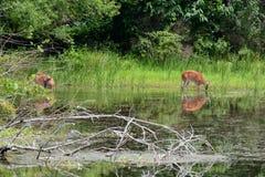 Alimentación de dos ciervos imagenes de archivo