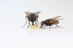 alimentación de dos moscas Imagen de archivo