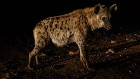 Alimentación de hienas manchadas, Harar Etiopía Fotografía de archivo libre de regalías