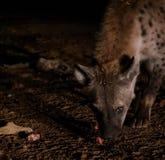 Alimentación de hienas manchadas, Harar Etiopía Imagenes de archivo