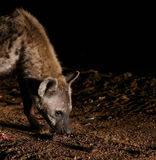 Alimentación de hienas manchadas, Harar Etiopía Fotos de archivo libres de regalías