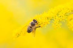 Alimentación de la abeja en el néctar y el polen Fotografía de archivo