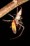 Alimentación de la araña del lince Fotografía de archivo