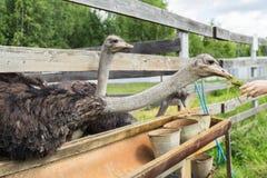 Alimentación de la avestruz en una granja Imagen de archivo libre de regalías