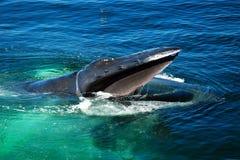 Alimentación de la ballena jorobada Foto de archivo libre de regalías