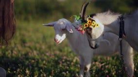 Alimentación de la chica joven cabras con ella en el campo en un día de verano caliente Primer almacen de video