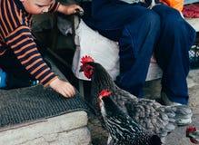 Alimentación de la gallina alimentan el muchacho y el hombre desde las manos un pollo negro con un peine rojo foto de archivo